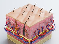 Integumentary System, Part 1: The Skin - Product Image